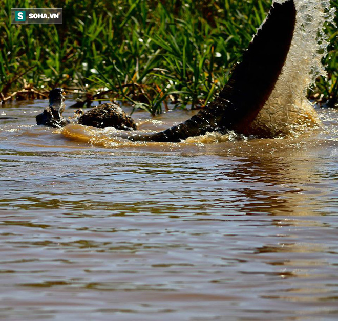 Bị mù một mắt, báo đốm vẫn lao xuống sông tử chiến với cá sấu: Mèo nào cắn mỉu nào? - Ảnh 2.