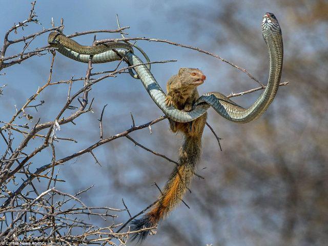 Cầy Mangut cắn nát đầu, ăn tươi nuốt sống loài rắn kịch độc ngay trên cây - Ảnh 3.
