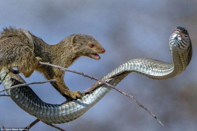 Cầy Mangut cắn nát đầu, ăn tươi nuốt sống loài rắn kịch độc ngay trên cây - Ảnh 4.