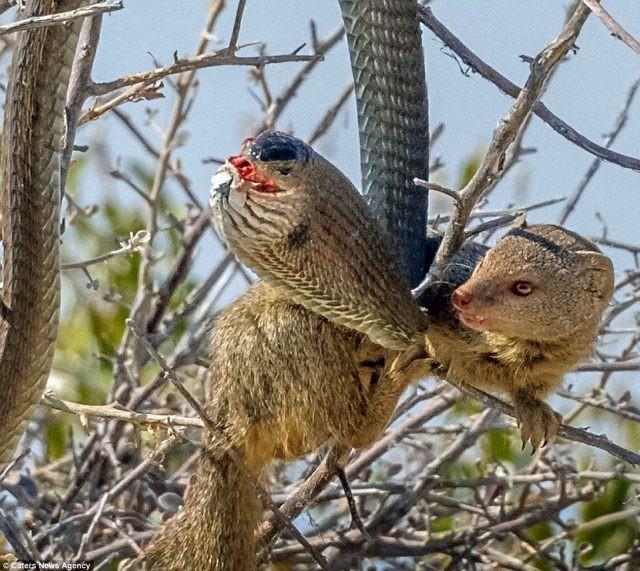 Cầy Mangut cắn nát đầu, ăn tươi nuốt sống loài rắn kịch độc ngay trên cây - Ảnh 5.