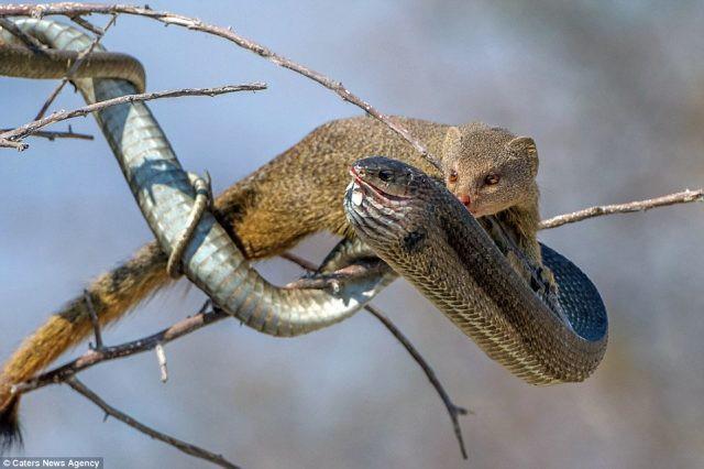 Cầy Mangut cắn nát đầu, ăn tươi nuốt sống loài rắn kịch độc ngay trên cây - Ảnh 6.