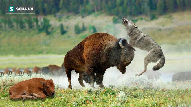 Bò bison con vừa bị nước cuốn đi lại gặp phải sói xám: Số phận của nó sẽ ra sao? - Ảnh 1.