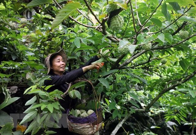 [Photo] Lạng Sơn được mùa na, sản lượng ước đạt hơn 30.000 tấn  - Ảnh 4.