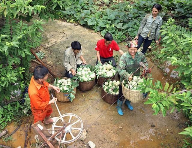 [Photo] Lạng Sơn được mùa na, sản lượng ước đạt hơn 30.000 tấn  - Ảnh 5.