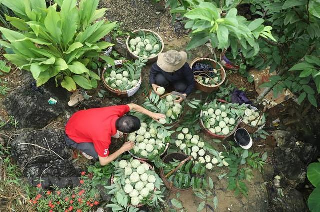 [Photo] Lạng Sơn được mùa na, sản lượng ước đạt hơn 30.000 tấn  - Ảnh 6.