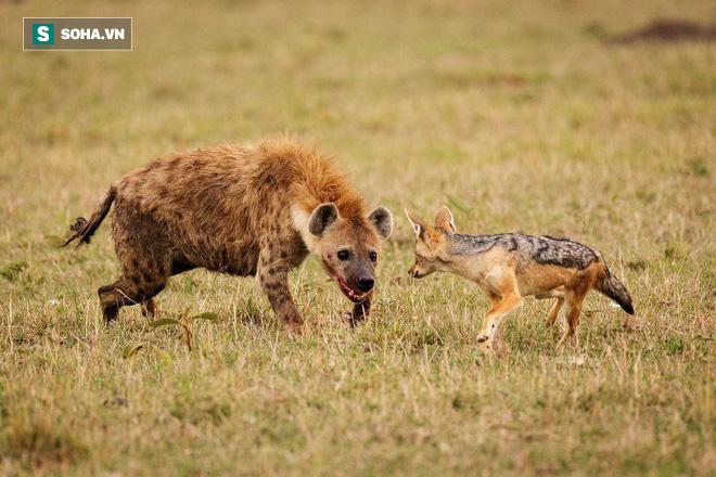 Bất chấp nỗ lực của cả đàn, chó rừng con vẫn chết thảm dưới nanh vuốt kẻ thù - Ảnh 1.