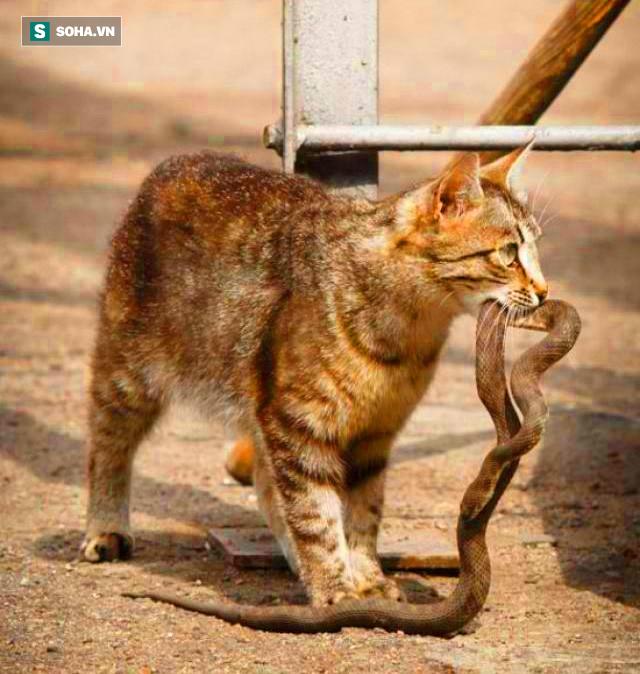 Rắn độc viper bị mèo hoang cắn vào tử huyệt, kẻ thua cuộc trở thành bữa ăn ngon lành - Ảnh 1.