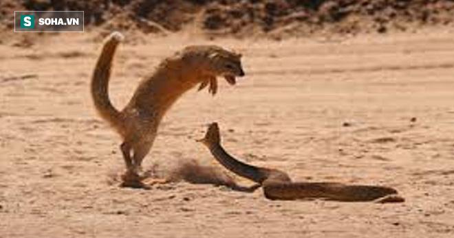 Trốn hẳn lên cây, rắn chuột vẫn bị thiên địch nhảy lên tận nơi lôi xuống giết - Ảnh 2.