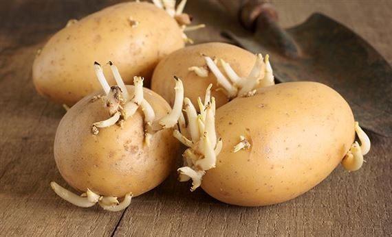 Những bộ phận có độc cần tránh của một số loại rau củ - Ảnh 1.