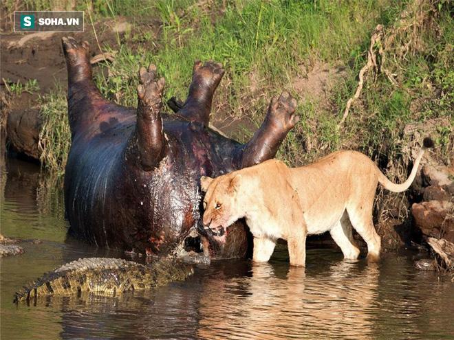 Sư tử suýt mất mạng khi xuống sông tranh ăn với cá sấu - Ảnh 1.