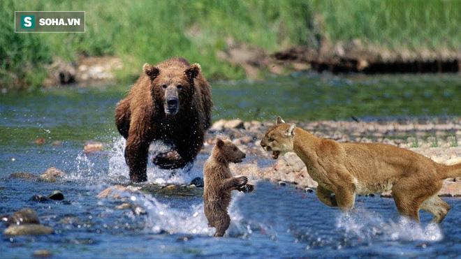 Định bắt nạt gấu con mồ côi, báo sư tử hốt hoảng vì bị trả đòn dữ dội - Ảnh 1.