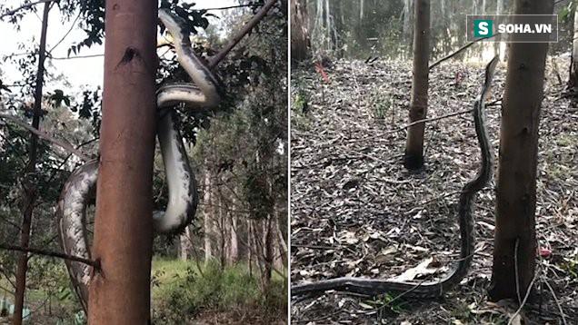 Tử thần trên cao: Khoảnh khắc đáng sợ khi con trăn trườn lên cây - nó làm gì vậy? - Ảnh 1.