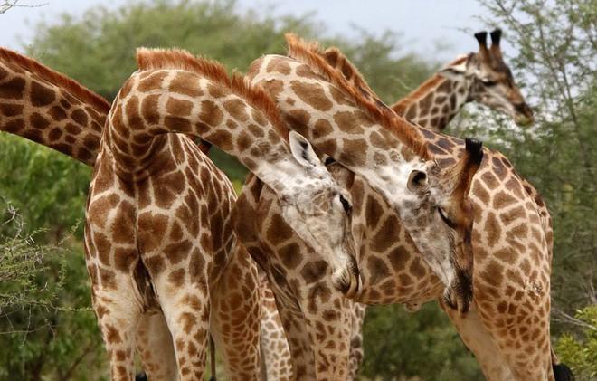 Một loạt những sự thật thú vị nhưng… vô bổ của thế giới động vật - Ảnh 5.