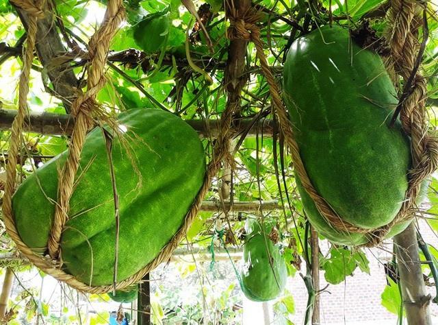 Làng trồng bí đao khổng lồ, có trái nặng tới 80kg ở Bình Định - Ảnh 5.