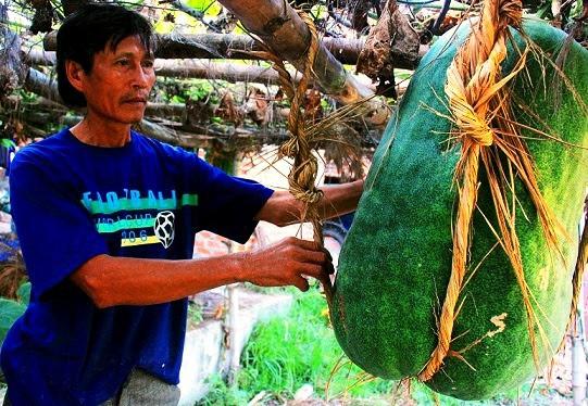Làng trồng bí đao khổng lồ, có trái nặng tới 80kg ở Bình Định - Ảnh 8.
