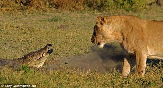 To gan tấn công vua con, cá sấu bị cả nhà sư tử kéo đến trả thù - Ảnh 2.