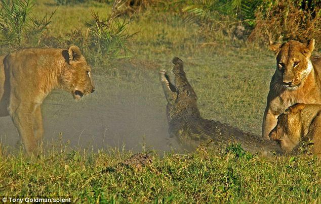 To gan tấn công vua con, cá sấu bị cả nhà sư tử kéo đến trả thù - Ảnh 4.