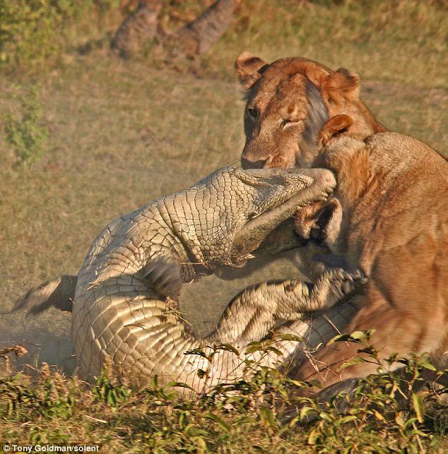 To gan tấn công vua con, cá sấu bị cả nhà sư tử kéo đến trả thù - Ảnh 7.