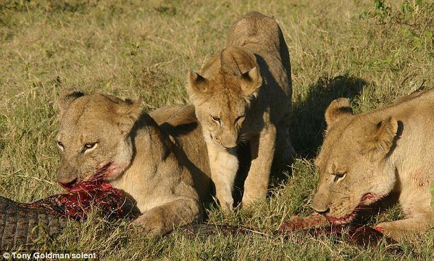 To gan tấn công vua con, cá sấu bị cả nhà sư tử kéo đến trả thù - Ảnh 8.