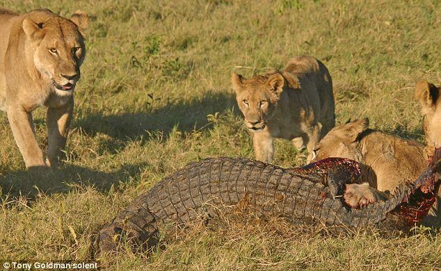 To gan tấn công vua con, cá sấu bị cả nhà sư tử kéo đến trả thù - Ảnh 9.