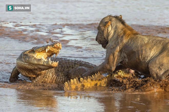 Băng qua lãnh địa của cá sấu, vua đồng cỏ suýt trả giá đắt vì chủ quan - Ảnh 1.