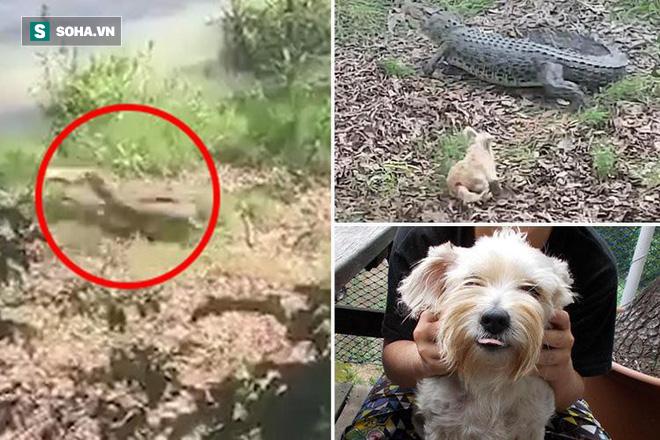 Sau 9 năm đùa giỡn với tử thần, cuối cùng, chú chó nổi tiếng Pippa bị cá sấu ăn thịt - Ảnh 2.