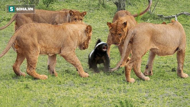 Cả đàn sư tử quây 2 con vật tí hon nhưng ngoạm vào lại phải nhả ra, bỏ chạy! - Ảnh 1.