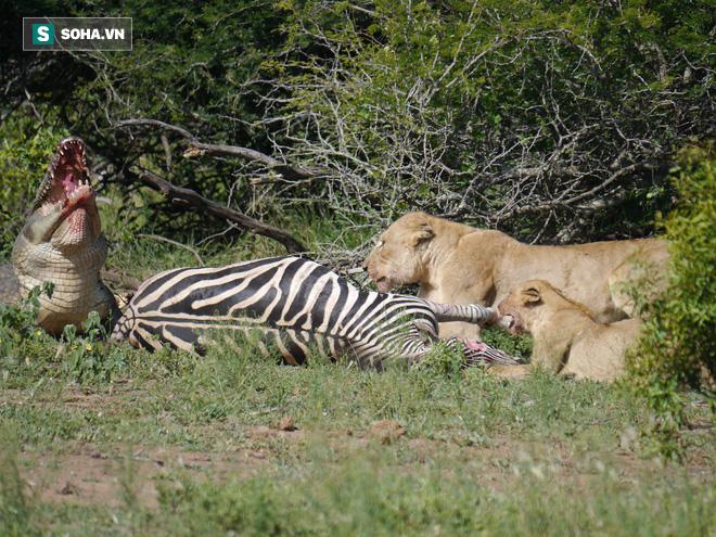 Tránh vỏ dưa gặp vỏ dừa: Sư tử hạ gục ngựa vằn vô cùng đẹp mắt - Ảnh 1.