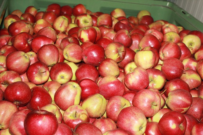 Mê mẩn giữa vựa táo ngon đẹp nức tiếng nhất Ba Lan - Ảnh 3.