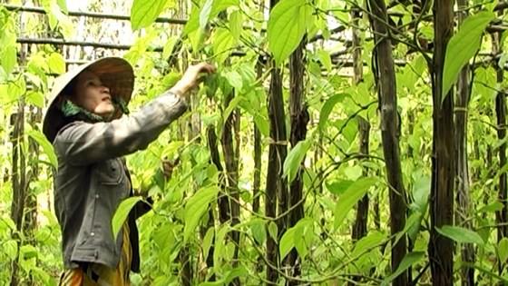 Lá trầu xuất khẩu sang Trung Quốc được giá, người trồng lãi cao - Ảnh 2.