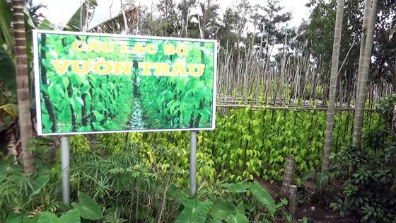 Lá trầu xuất khẩu sang Trung Quốc được giá, người trồng lãi cao - Ảnh 5.
