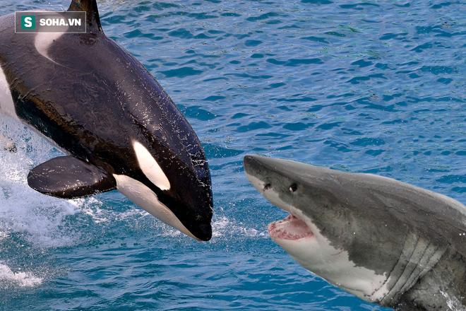 Bất ngờ: Cá mập bị cắn ngang người, giẫy chết vì chính con mồi của mình - Ảnh 1.