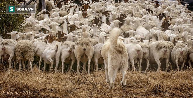 Hình ảnh kỳ thú: Chó giúp chủ kiểm soát đàn cừu hàng ngàn con một cách vô cùng trật tự! - Ảnh 1.