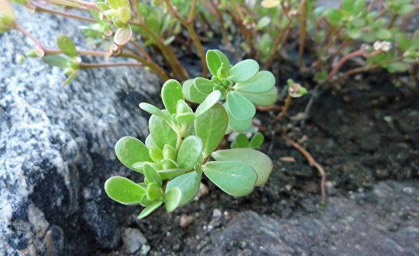 Loại rau có nhiều lợi ích sức khỏe được tận dụng ở Trung Quốc từ rất lâu, không ngờ ở Việt Nam lại mọc đầy vườn - Ảnh 2.