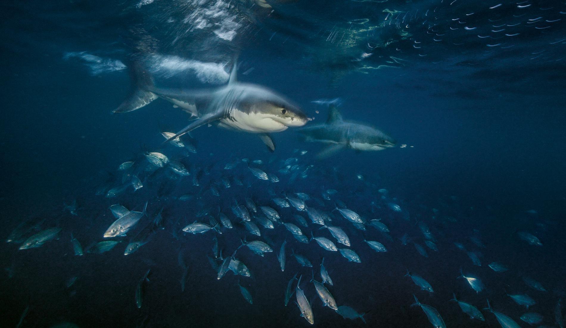 Con cá rất đẹp đột ngột mất tích và cuộc săn tìm đàn cá mập trắng lớn nhất thế giới - Ảnh 4.