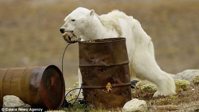 Sự thực về đoạn video chú gấu trắng Bắc cực gầy trơ xương lê bước kiếm ăn vì quá đói - Ảnh 2.