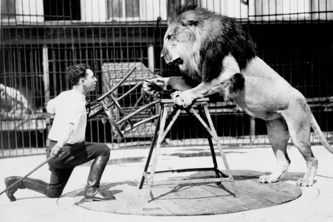 Công việc thuần hóa sư tử trong rạp xiếc được thực hiện như thế nào? - Ảnh 1.