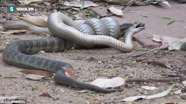 Rắn nâu cắn chết rắn hổ nhưng không thể ăn thịt đối thủ vì lý do không ngờ - Ảnh 2.