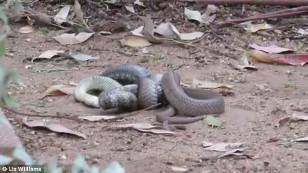 Rắn nâu cắn chết rắn hổ nhưng không thể ăn thịt đối thủ vì lý do không ngờ - Ảnh 3.