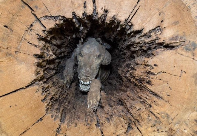 Điều gì khiến chú chó săn mắc kẹt trong thân cây 60 năm vẫn nguyên vẹn, không hề phân hủy 1 chút nào - Ảnh 1.