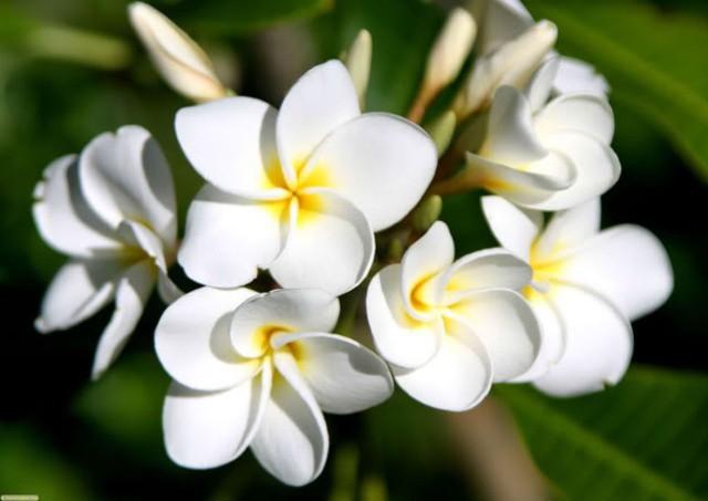 Chuyên gia Đông y chỉ ra sự thật về việc sử dụng hoa đại ngâm rượu giúp giảm cân - Ảnh 2.