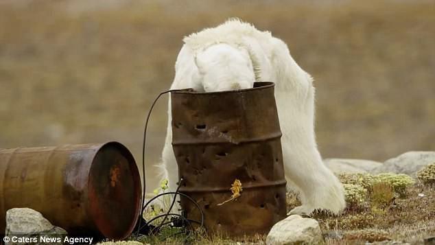 Sự thực về đoạn video chú gấu trắng Bắc cực gầy trơ xương lê bước kiếm ăn vì quá đói - Ảnh 4.