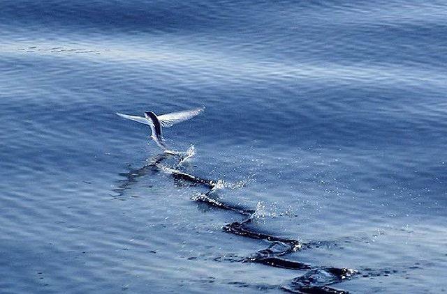 Cá chuồn, loài cá biết bay - Ảnh 2.