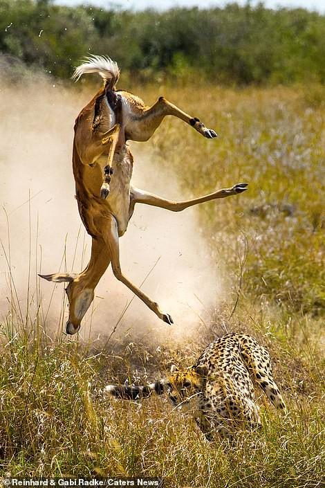 Đang chạy trốn thì vấp ngã, liệu linh dương có thoát khỏi đòn thù của báo săn? - Ảnh 3.