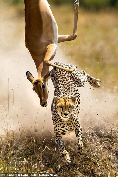 Đang chạy trốn thì vấp ngã, liệu linh dương có thoát khỏi đòn thù của báo săn? - Ảnh 4.