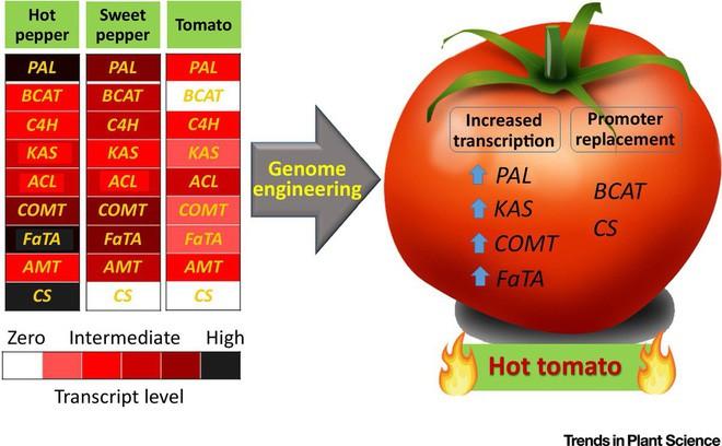 Hãy làm ra những quả cà chua cay như ớt, các nhà khoa học nói - Ảnh 3.