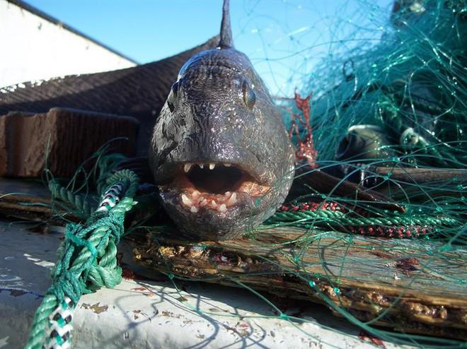 Con cá này xấu đau đớn nhưng người ta vẫn săn bắt nó đến mức sắp tuyệt chủng - Ảnh 2.