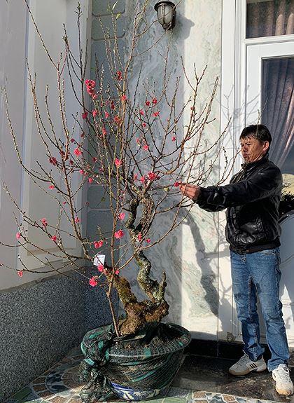 Đào má hồng Đà Lạt được thuê chưng Tết giá 30 triệu đồng - Ảnh 2.