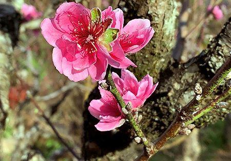 Đào má hồng Đà Lạt được thuê chưng Tết giá 30 triệu đồng - Ảnh 4.