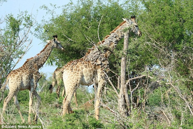 Xót thương cảnh hươu cao cổ bị cả đàn xa lánh: Nó tìm đến cái cây và có hành động lạ - Ảnh 5.